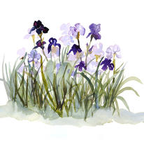 hidden Iris bed
