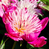 Peony, Preston Manor walled garden - Photography