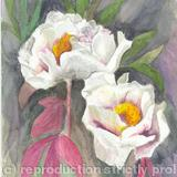 Peonie - Watercolour