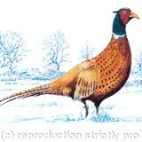 Standing Pheasant winter image - pencil pen and watercolour