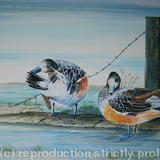 Chiloe Widgeon at rest - Acrylic on Board