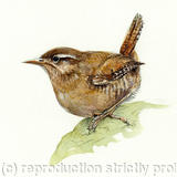 Wren - Signed giclee print. Supplied mounted and cellophane wrapped.