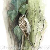 Treecreeper - Signed giclee print. Supplied mounted and cellophane wrapped.
