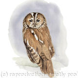 Tawny Owl - Signed giclee print. Supplied mounted and cellophane wrapped.